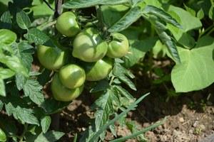 Potager Ste Agathe culture tomates © Urbanisme Ville de Liege  JP