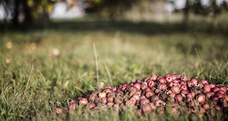 Compost pommes - Copyright Igrinz